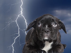 Natural Relief For Dogs That Suffer From Thunderstorm & Fireworks Anxiety
