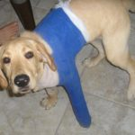 Bernie in a spica cast recovering from surgery.