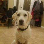 Stella My Yellow Lab Puppy