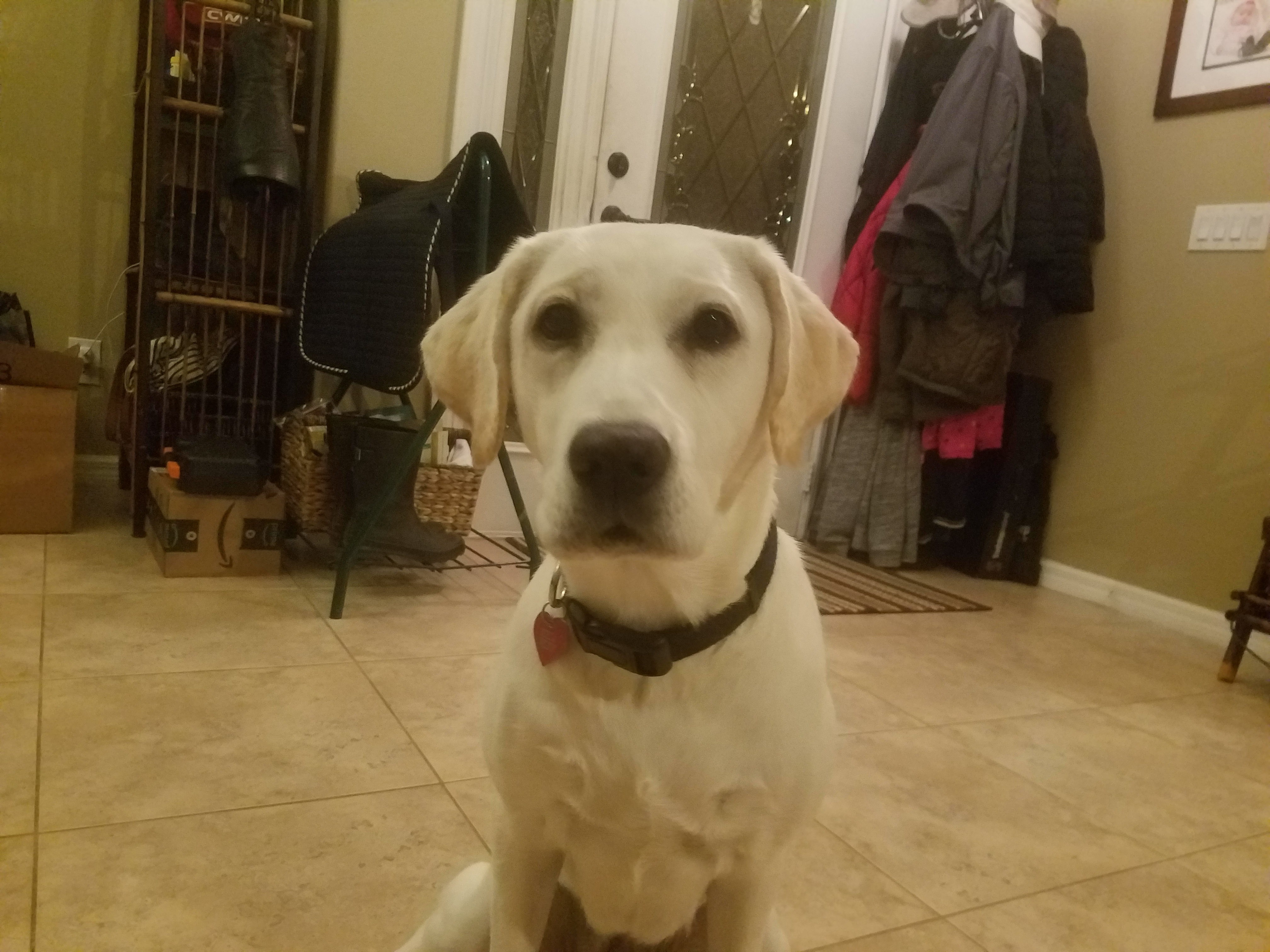 Stella The Yellow Lab Puppy, My Little Rock