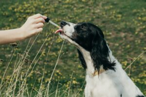 Is CBD Oil the Miracle Treatment for Disease in Dogs & Cats it is Often Touted to Be?